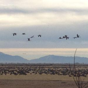 Observing the Sandhill Cranes